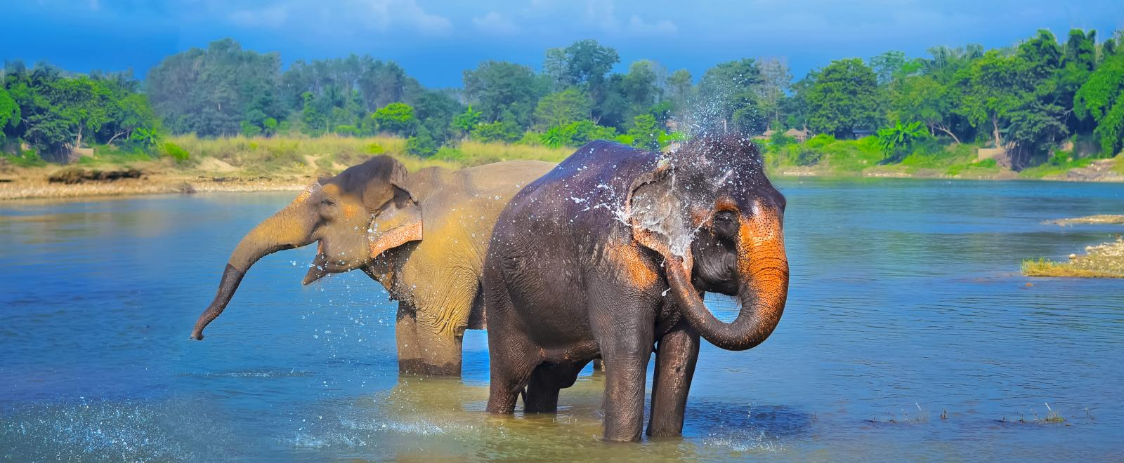 Asian elephants play in the water of a National Park in Sri Lanka.
